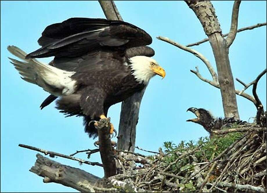An adult eagle stands watch over one of it's eaglets at a nest in Puyallup. The nest has two chicks. The nest was first reported to Washington Department of Fish and Wildlife in 1998 but is believed to be older. Locals say the nest has been there for 15 years. Photo: Gilbert W. Arias, Seattle Post-Intelligencer / Seattle Post-Intelligencer