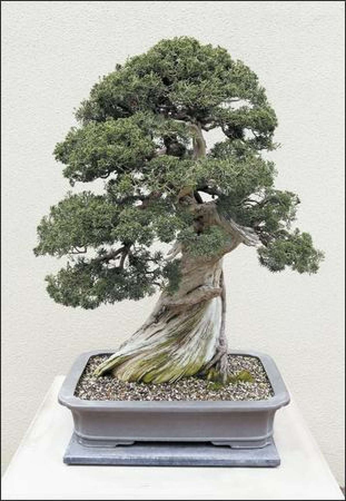 This Chinese juniper on Sierra juniper is part of the Pacific Rim Bonsai Collection in Federal Way. This bonsai's date of origin is 1970. The artist is Kenneth Sugimoto.