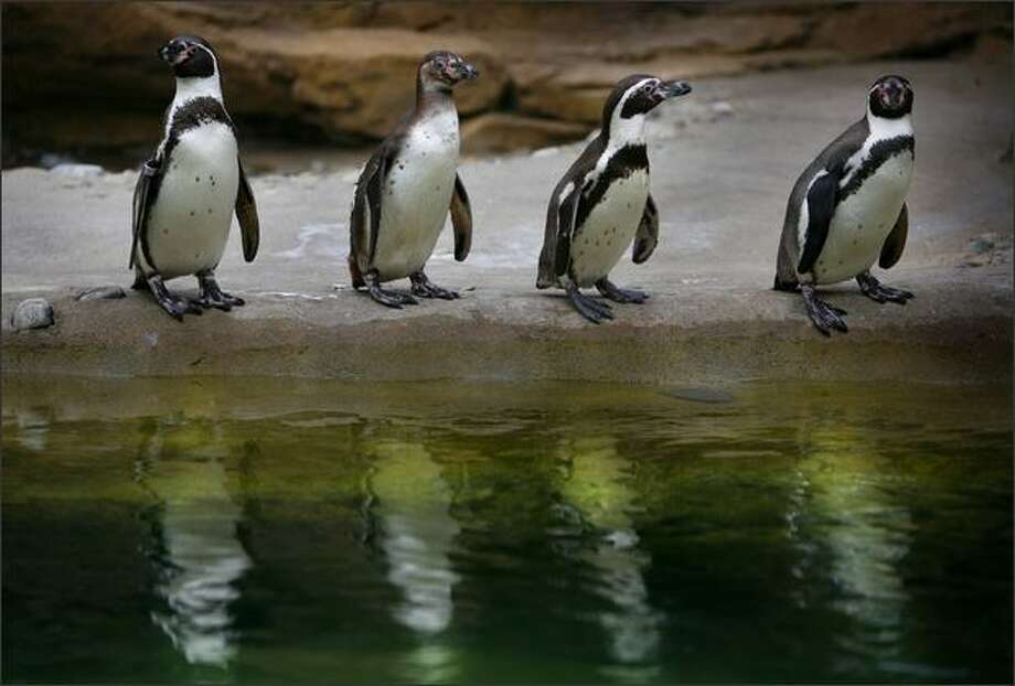 Humboldt penguins take a break from swimming in their new exhibit at the Woodland Park Zoo on May 13 in Seattle. Photo: Joshua Trujillo, Seattlepi.com / seattlepi.com