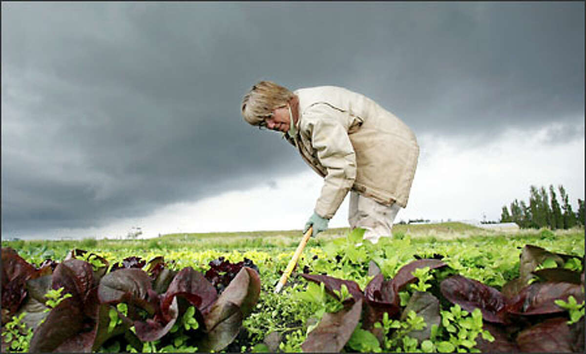 Hoeing, hoeing, hoeing. Organic farming means lots of intense and back-tiring work, rain or shine, for Hilborn.
