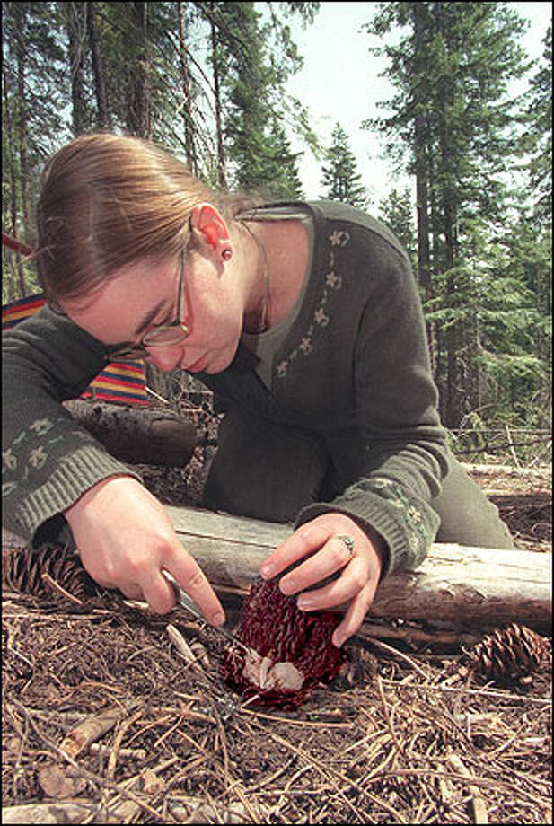 Alissa Allen hunts for morels in the Okanogan-Wenatchee National Forest. Photo: Grant M. Haller, Seattle Post-Intelligencer / Seattle Post-Intelligencer