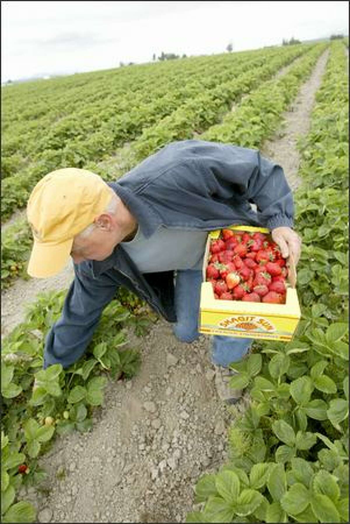 Don Kruse, at his strawberry farm last week, had pickers out Saturday. He said he is concerned about having enough labor to harvest the early crop.