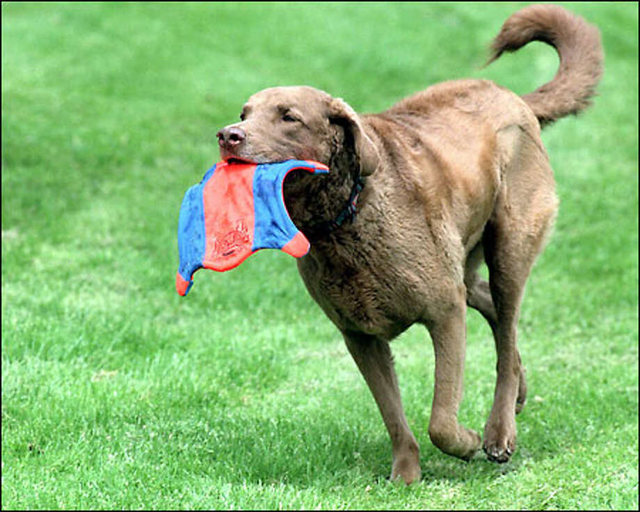 "Chester, a Chesapeake Bay retriever, returns with a ""Flying Squirrel,"" one of the newest pet products on the market from Kent-based Canine Hardware. Photo: Grant M. Haller, Seattle Post-Intelligencer / Seattle Post-Intelligencer"