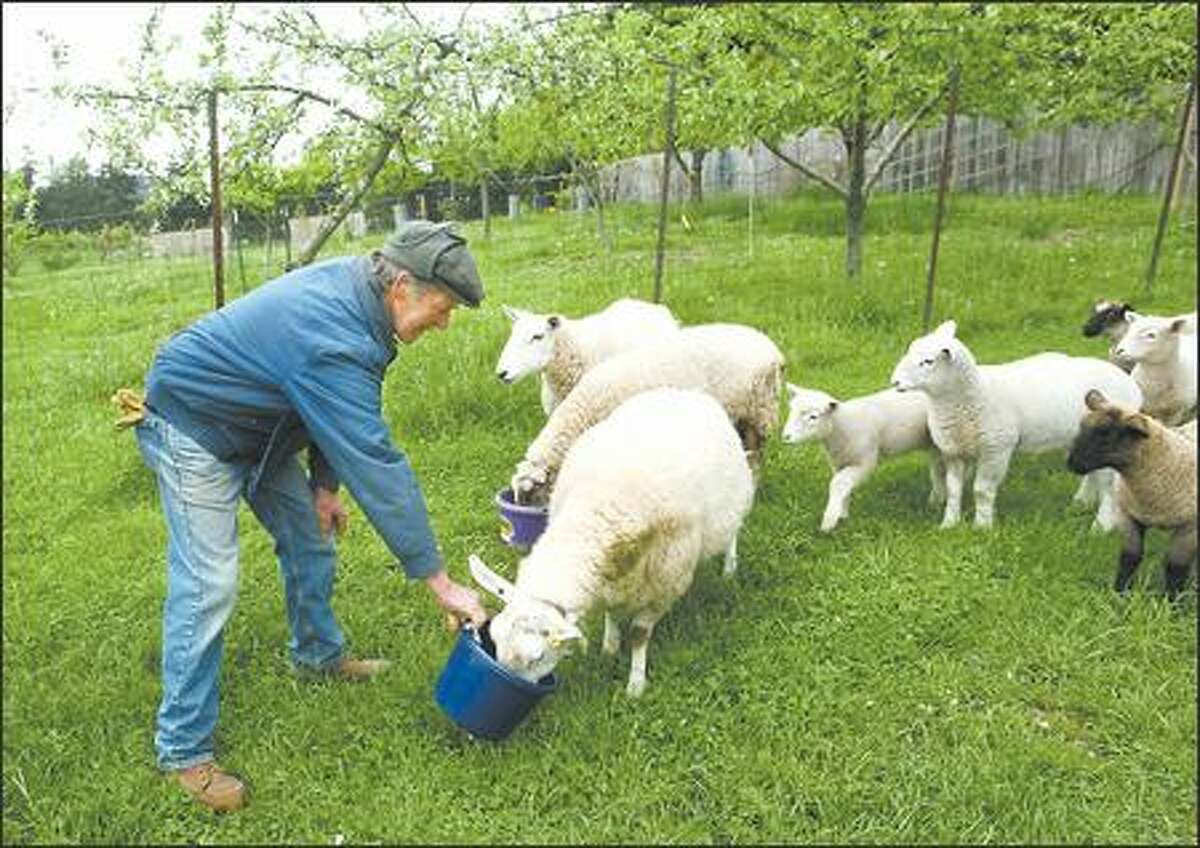 Vern Coffelt feeds some of the lambs on the Orcas Island farm he owns with his wife, Sidney.