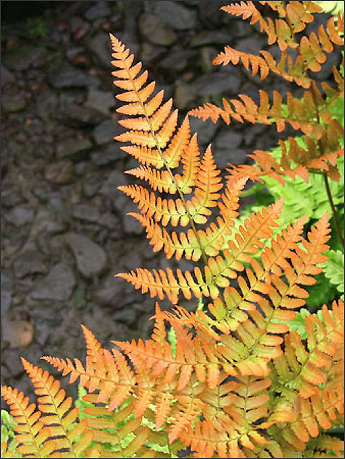 The foliage of the autumn fern (Dryopteris erythrosora) glows with golden highlights.