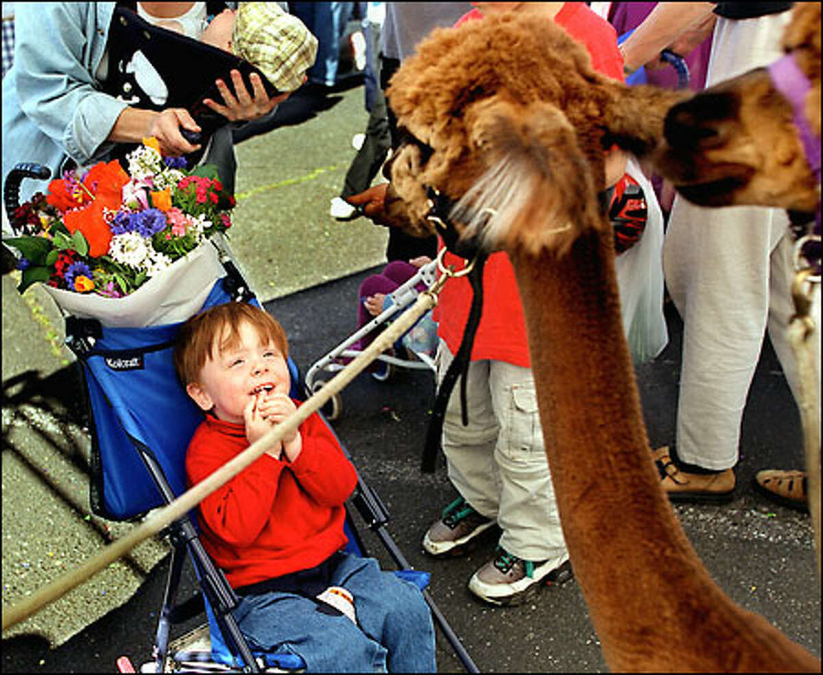 To Ian Halstead, 2, of Seward Park, the two 1-year-old alpacas (named Baden Powell and Chaco) that he was introduced to at the start of the Columbia Farmers Market yesterday in Columbia City must have seemed like strange creatures indeed. The alpacas belong to Juanita DeSisto of Renton.