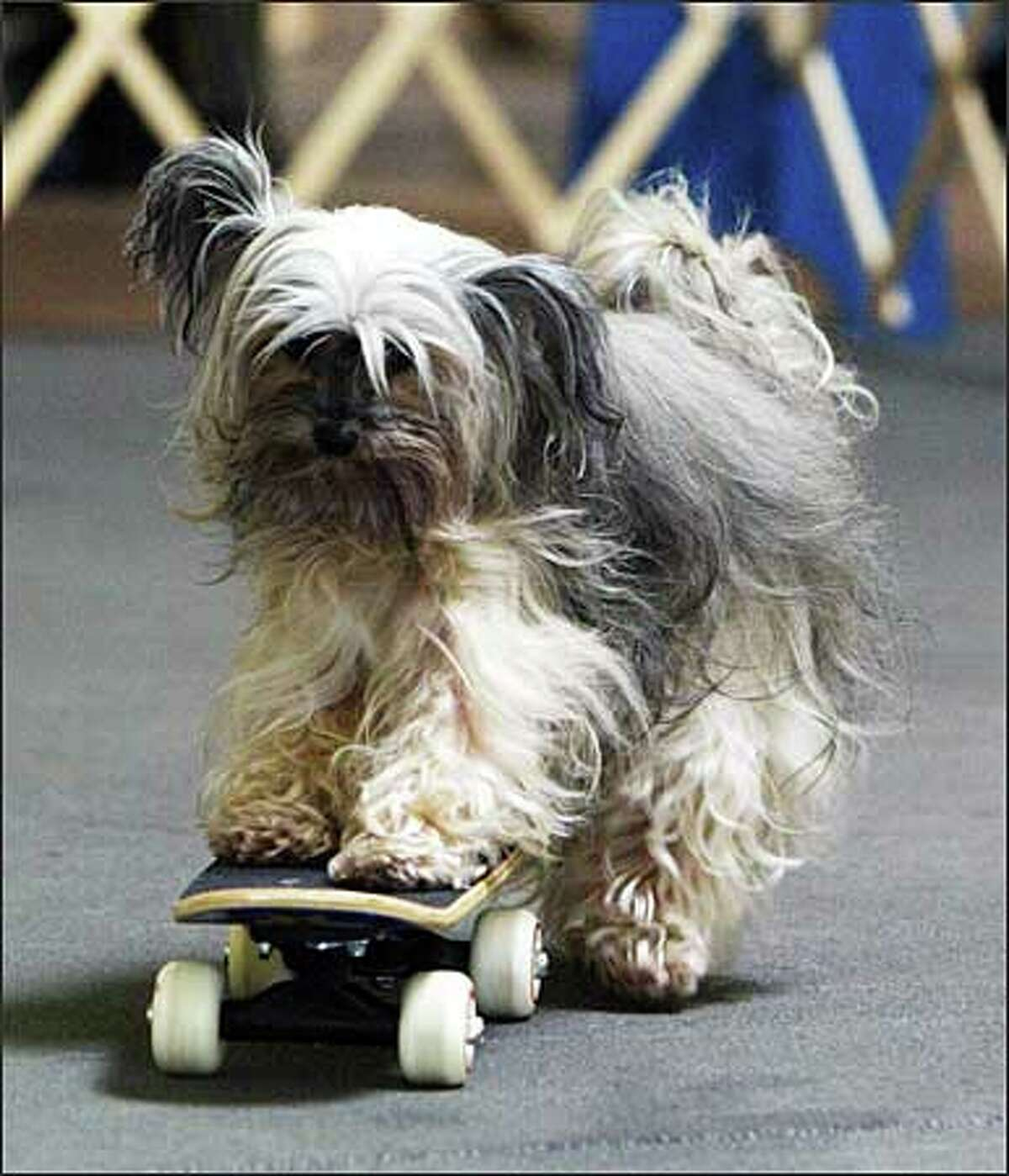 Sprite (a Chinese Crested) enters the arena on a skateboard to the tune of