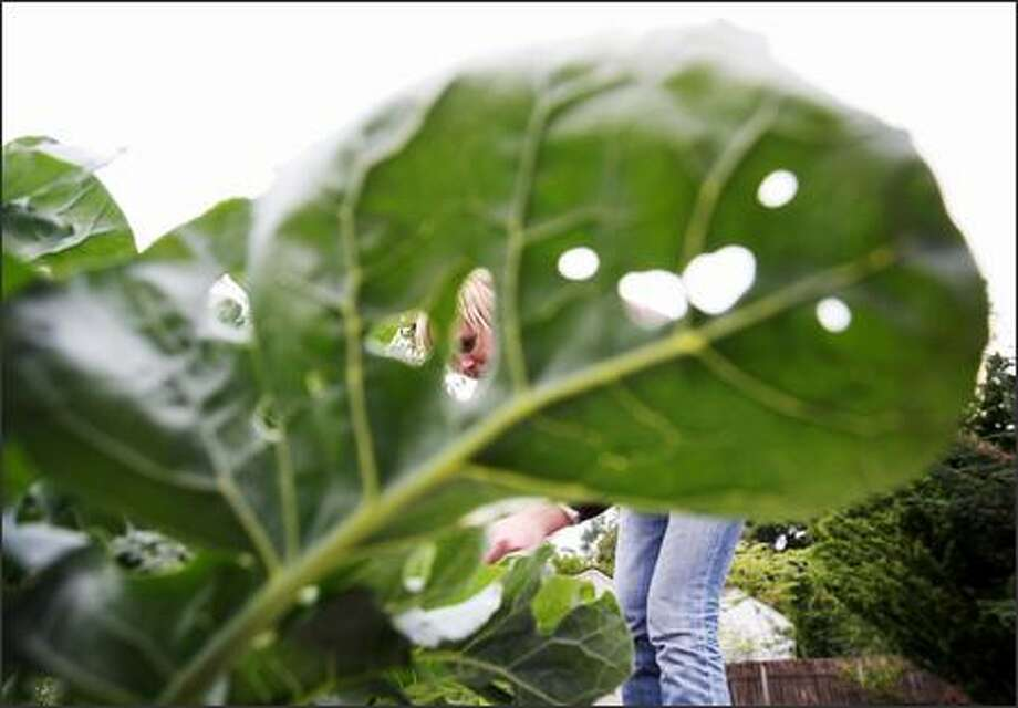 Looking at Lisa Stiffler through the holes in a broccoli leaf shows there's trouble in her earthly paradise. Photo: Scott Eklund, Seattle Post-Intelligencer / Seattle Post-Intelligencer