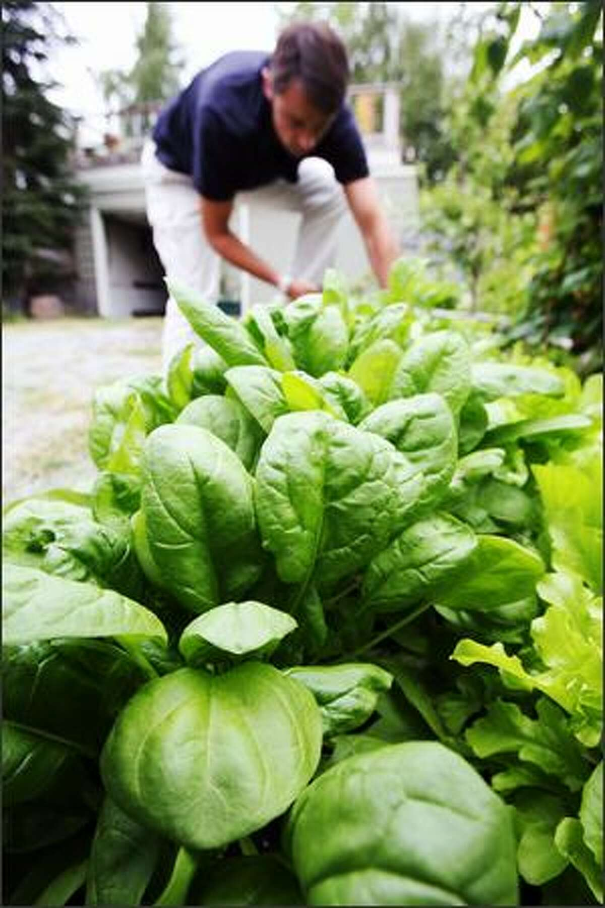Brent Roraback, Lisa's husband, picks greens for a salad.