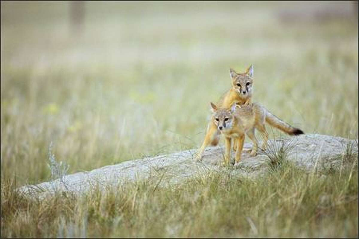 Swift fox pups linger near their den on the eastern Montana prairie.