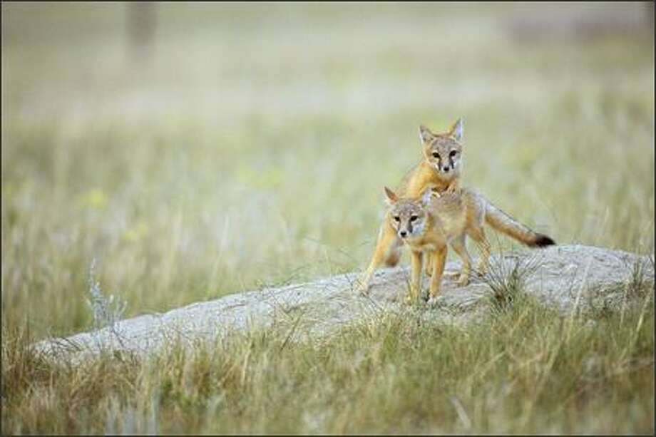 Swift fox pups linger near their den on the eastern Montana prairie. Photo: Florian Schulz, Special To The P-I / Special to the P-I