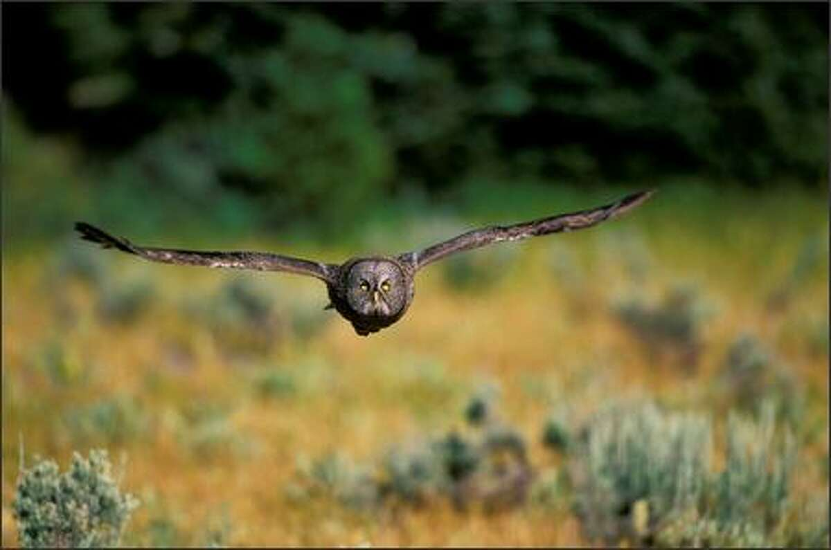 A great gray owl flies across a clearing in Wyoming's greater Yellowstone ecosystem, part of the Rocky Mountains chain that scientists and environmentalists want to save from gross exploitation by developers.