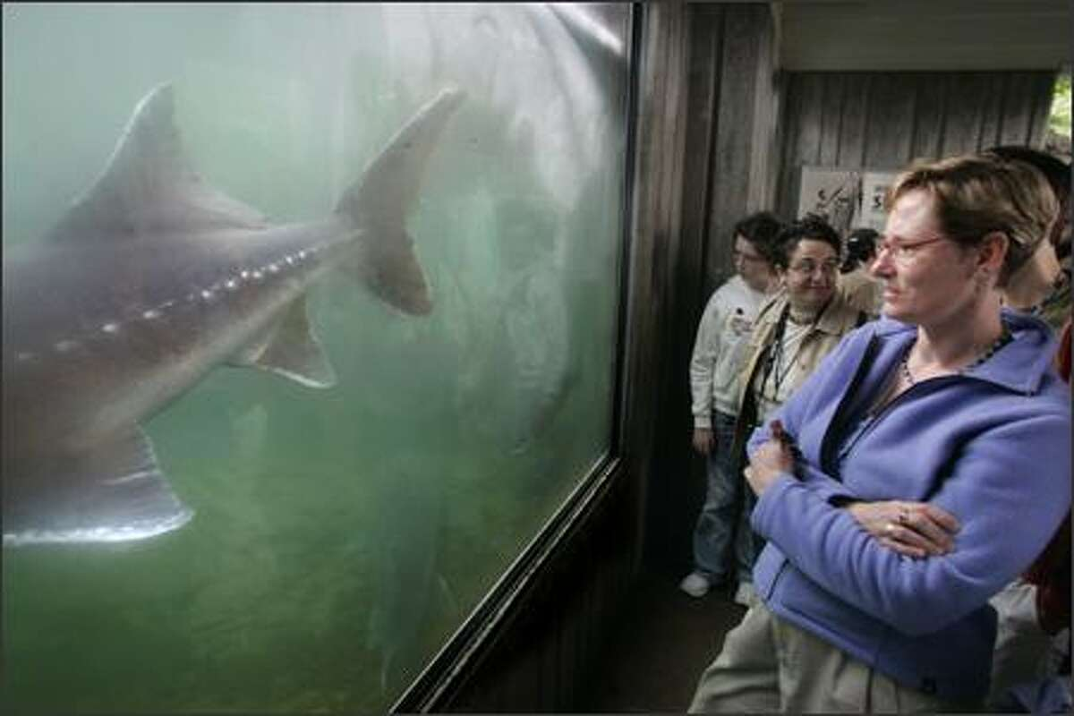 UW assistant professor of medical history and ethics Helene Starks watches a large sturgeon swim by the glass of a viewing pond at Bonneville Dam Fish Hatchery in Cascade Locks, Ore.