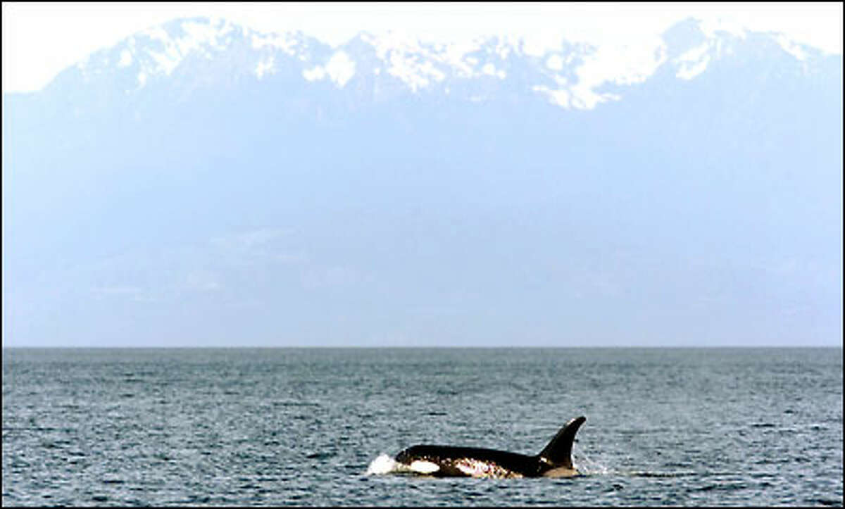 The 21-year-old female orca L-82, also known as Kasatka, surfaces off the shores of San Juan Island within view of the Olympic Mountains. Seven resident orcas are missing.