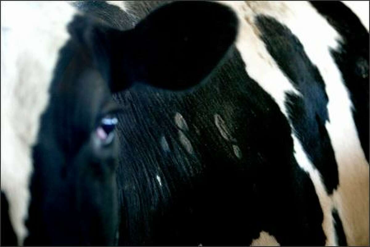 A Holstein dairy cow with blistered sores on its skin is one of 10 that got sick on John Koopman's farm in Enumclaw. Three of the sickened cows ultimately died.