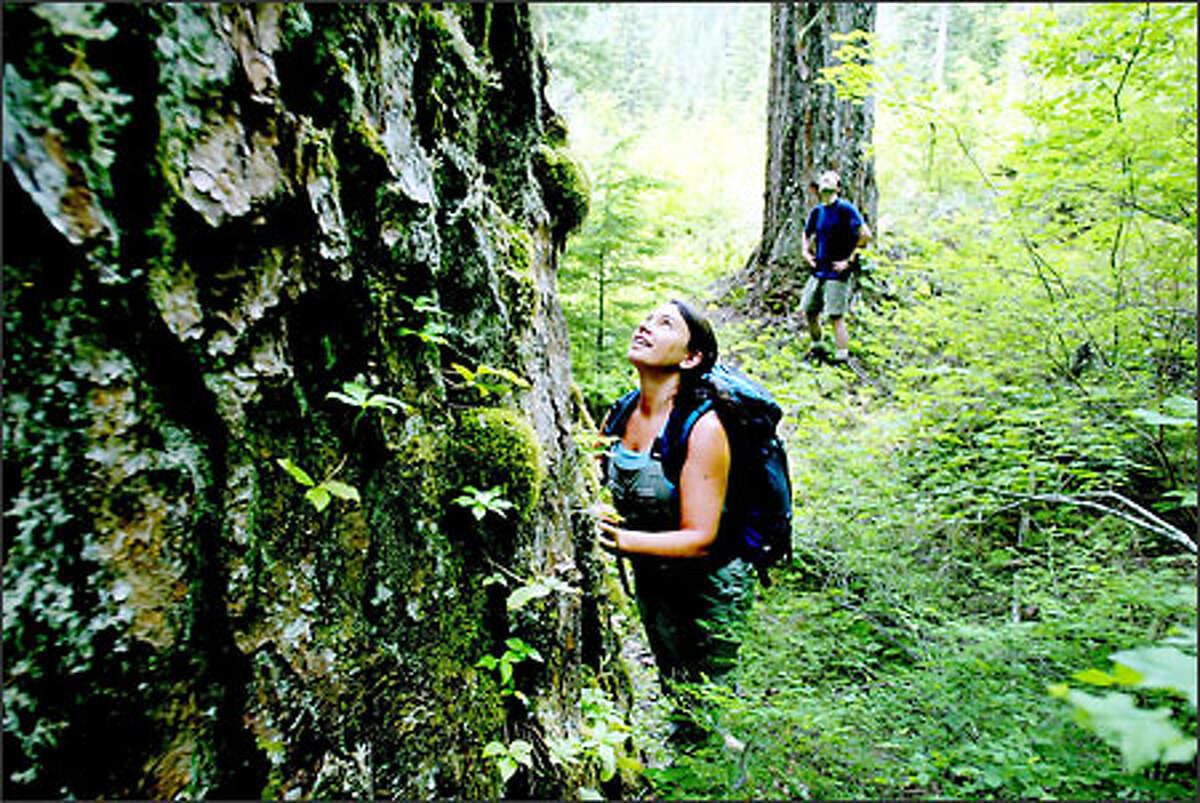 Even after many trips into the woods along Sawmill Creek, Demis Foster of the Cascades Conservation Partnership is enraptured by the old-growth trees.