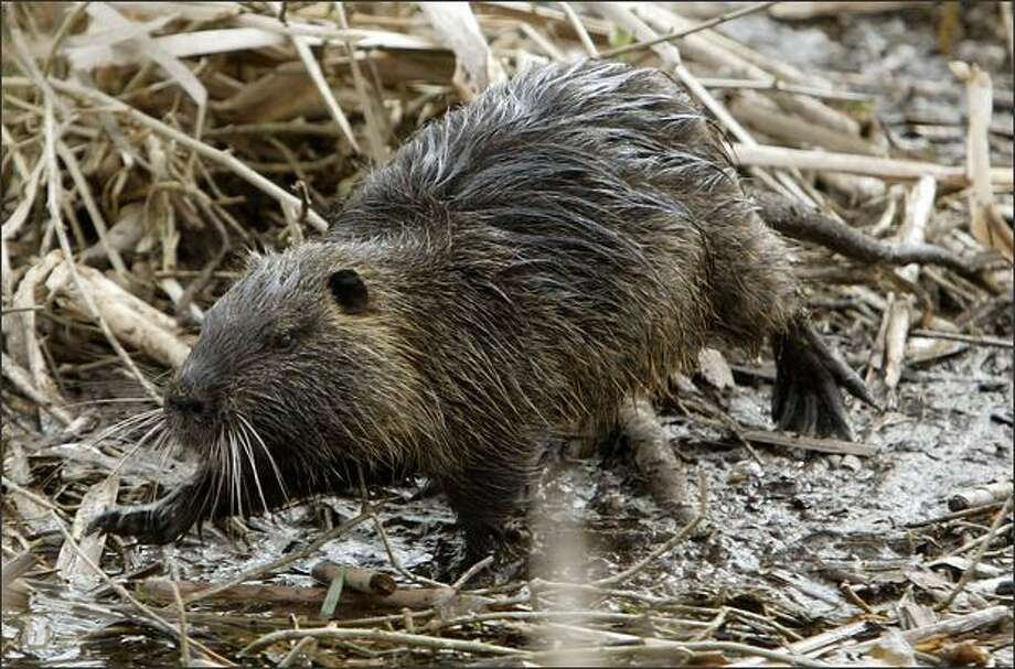 Nutria can be mistaken for beavers but are smaller, with a ratlike tail. Improving weather has caused their numbers to rebound in the region. Brought to the state for their fur, they quickly became pests. Photo: Mike Urban, Seattle Post-Intelligencer / Seattle Post-Intelligencer