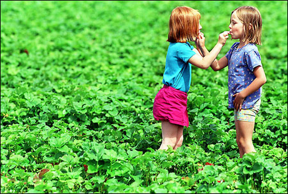 Best friends Brittany Covello, 6, and Hailey Barrett, 6, sample each other's just-picked strawberries yesterday in one of Remlinger Farms' U-pick fields in Carnation. The girls biked to the farm with their families. This is the 50th year of strawberry harvesting at Remlinger Farms. The harvest is expected to continue for another week or two, weather permitting.