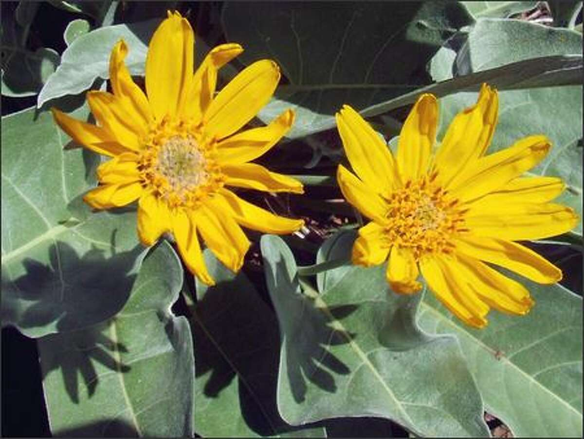 Balsamroot still can be found blooming in the higher elevations.