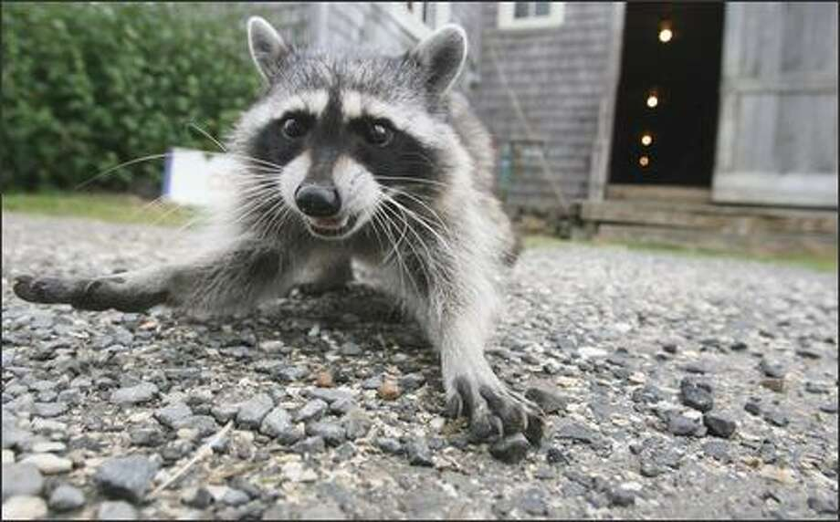 Camp robber: This would be a critter that tries to invade your campsite. Photo: Scott Eklund, Seattle Post-Intelligencer / Seattle Post-Intelligencer