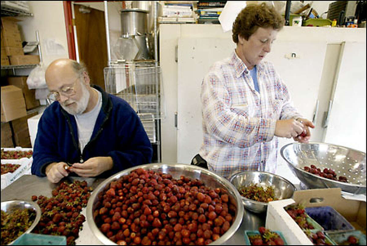 Selvar and Dick McKinney pick the tops off berries. Yesterday, one acre yielded only 12 flats weighing 10 pounds each. An acre normally would bring in five tons during the five-week harvest.