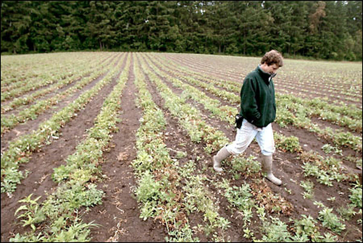 Karen Selvar walks through a plot of strawberries at her Bainbridge Island Farms that has been attacked by black root rot. The plants produced very small strawberries.