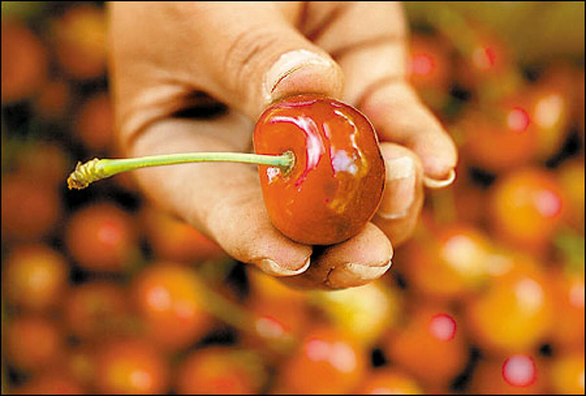 Dick Boushey's Rainier cherries are so exquisite that he can command top dollar from foreign markets. In Japan, for example, a single, flawless Rainier may cost up to $1.