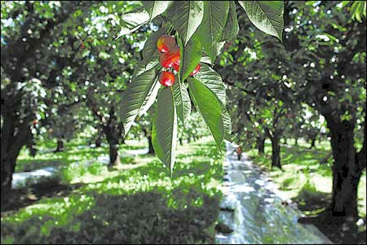 Mylar on the ground reflects light underneath the branches to help ripen the fruit at Paulson Place grove, part of the Olmstead Orchards in Grandview.