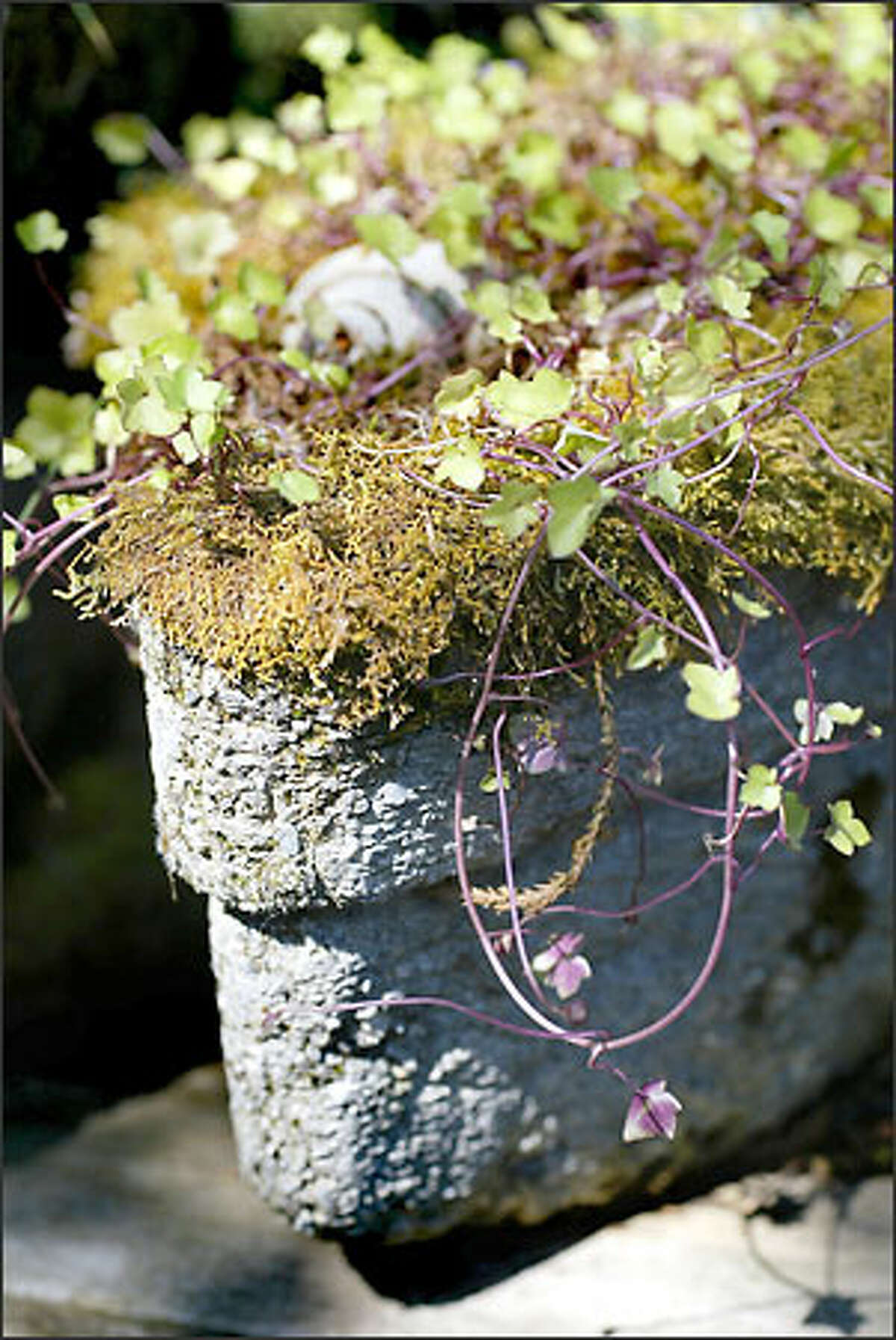 Kenilworth ivy grows in this diamond-shaped hypertufa container in Flynn's Sammamish garden.