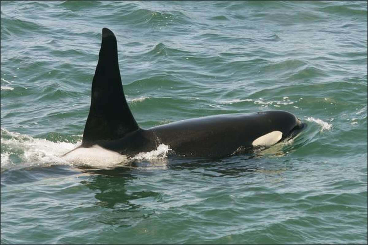 An Orca named Ruffles, also known as J-1, surfaces for the passengers of the Victoria Clipper in Boundary Bay.