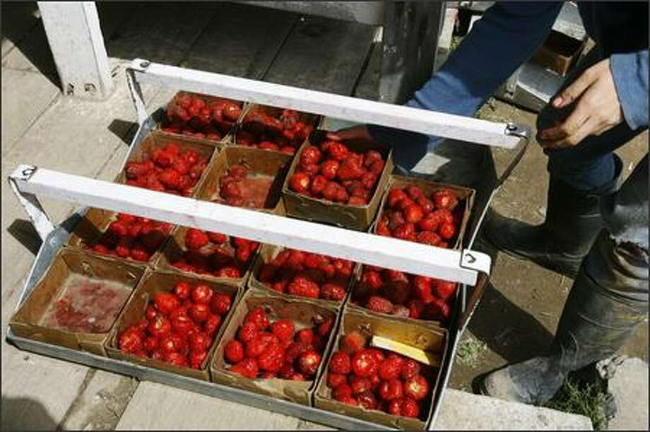 Lacey Labile of Puyallup unloads strawberries at the research station. The high school student is working at the farm for the summer. Photo: Gilbert W. Arias, Seattle Post-Intelligencer / Seattle Post-Intelligencer