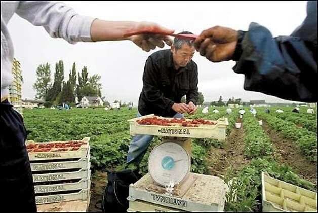 CEO Steve Sakuma helps weigh strawberries during at Sakuma Brothers Farm.