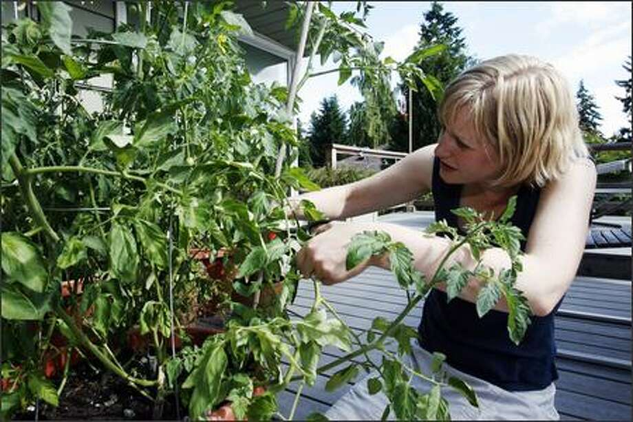 Lisa Stiffler prunes one of her tomato plants. The novice gardener hopes to get a few more vegetables to sprout this summer but is off to a late start. Photo: Grant M. Haller, Seattle Post-Intelligencer / Seattle Post-Intelligencer