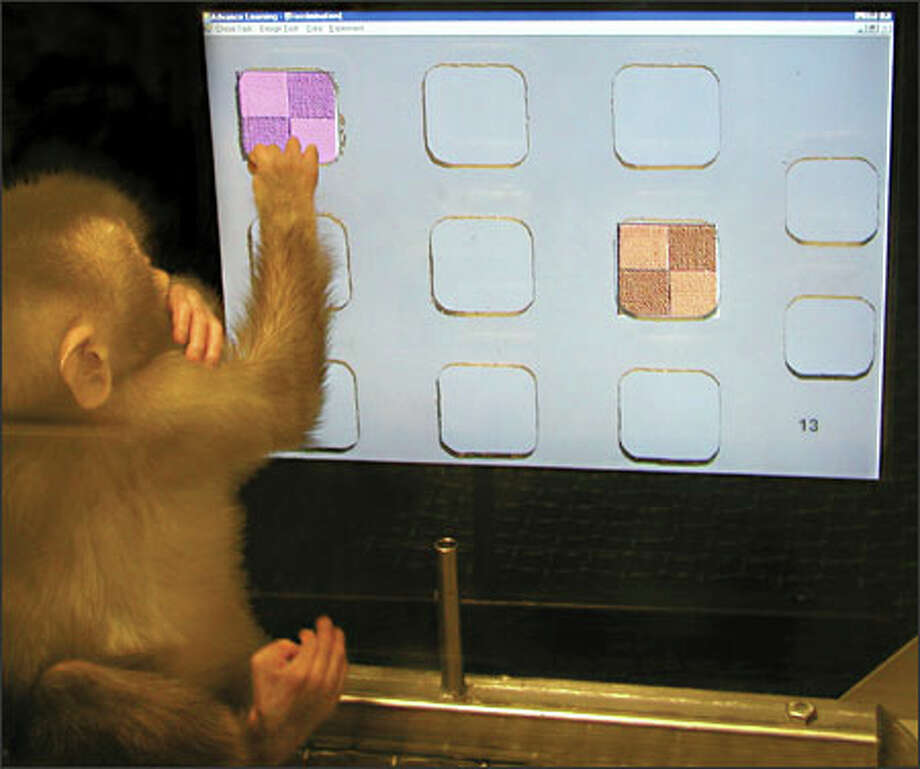 An infant pigtail macaque at the University of Washington reaches for the purple square in a computer test of infant learning skills. If it picks the right square, it will be rewarded with applesauce from the tube in front of it. (WASHINGTON NATIONAL PRIMATE RESEARCH CENTER PHOTOS)