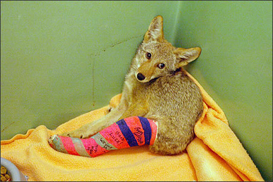 "A coyote pup sits in a holding pen sporting a colorful cast with warm wishes written by the rehabilitating staff at the PAWS Wildlife Center. ""We can't let them get attached to us,"" says wildlife rehabilitator Peggy Faranda. ""But we still get attached to them."" Photo: David Bitton, Seattle Post-Intelligencer / Seattle Post-Intelligencer"