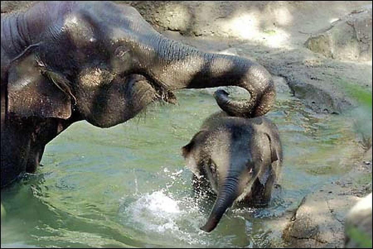 Hansa and Chai try to cheat Friday's heat by making a splash in the Woodland Park Zoo's Elephant Forest bathing pool. Nine-month-old baby Hansa, who weighed 235 pounds when she was born last November, now weighs 935 pounds. Seattle's temperature reached 88 degrees Friday, prompting the area's first smog watch in a year.