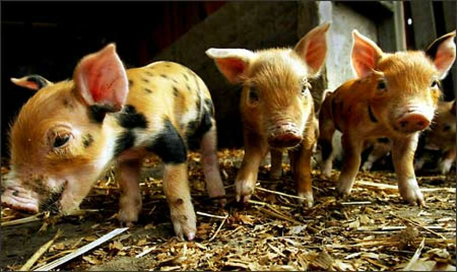 At Whistling Train Farm, these week-old piglets, although still destined for market, nurse from their mother rather than being fed artificial milk, and they are free to run around a large pen instead of being confined. Photo: Meryl Schenker, Seattle Post-Intelligencer / Seattle Post-Intelligencer