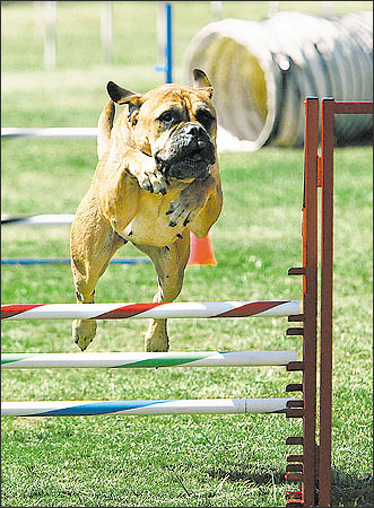 Truedee, a bull mastiff, jumps over a hurdle while competing in an agility trial with owner Melissa Wiltse of Monroe, during the competition.