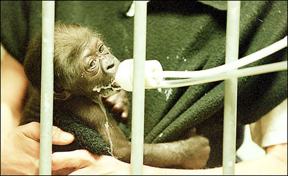 This unnamed 3-week-old female gorilla, born at the Woodland Park Zoo, is held by Judy Sievert while Hugh Mailey feeds her. Her mother, 16-year-old Jumoke, experienced a trouble-free labor and delivery but has not shown much interest in her baby. The zoo's staff has taken over her care.