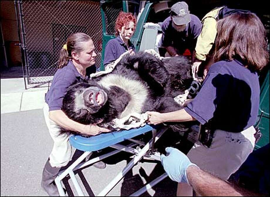 It takes a village, or at least six zoo keepers, to raise – and lower – a 370-pound adult sloth bear. Randy, Woodland Park Zoo's 6-year-old sloth bear, was on his way back to his home after receiving an annual medical exam yesterday. The exam included an ultrasound test to help determine if Randy is able to reproduce normally. Sloth bears are an endangered species; fewer than 10,000 remain in the wild. They are found in the lower elevations of Bangladesh, India, Nepal and Sri Lanka. Some countries still allow hunting of the bears and unrestricted trade in their body parts. Photo: Paul Joseph Brown, Seattle Post-Intelligencer / Seattle Post-Intelligencer