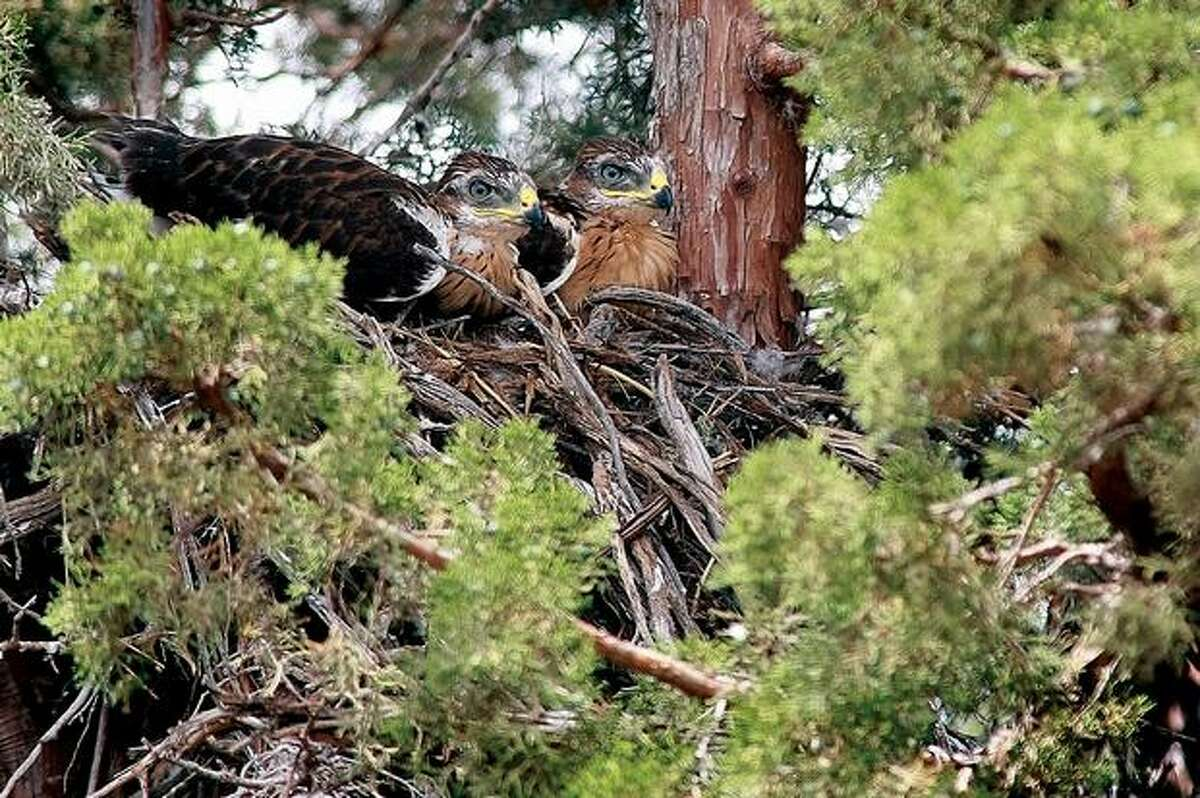 In this photo taken June 22, 2009, a pair of ferruginous hawks sit on a nest on private property adjacent to the Juniper Dunes area in Franklin County. Jason Lowe, a Bureau of Land Management wildlife biologist, estimated the pair at about four weeks old. Ferruginous hawks, a threatened species in Washington, are at their lowest counts since field surveying began 30 years ago, he said. (AP Photo/The Tri-City Herald, Bob Brawdy)