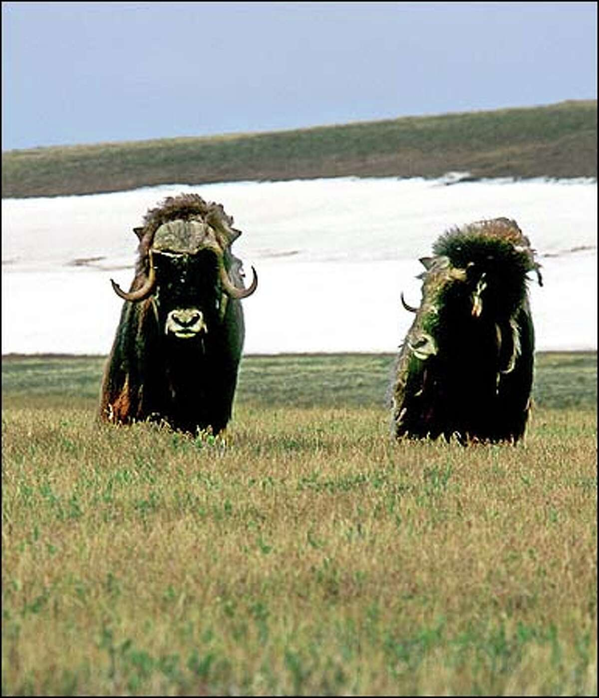 Wild oxen graze in the Arctic National Wildlife Refuge.