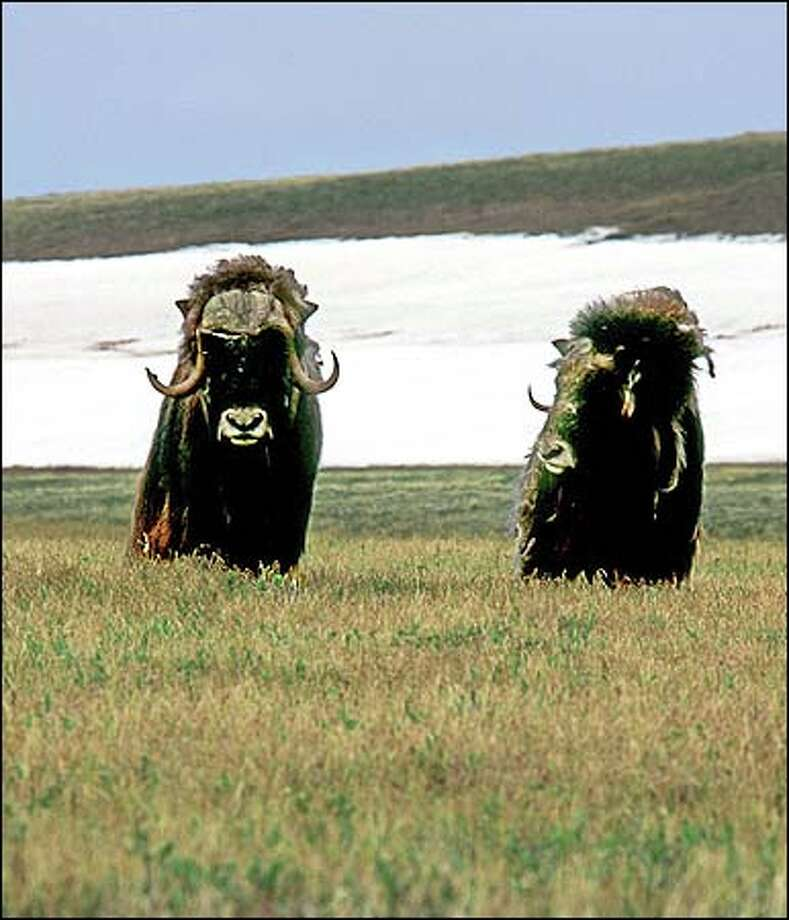 Musk oxen march through rafters' campsite in Arctic National Wildlife Refuge. . Photo: Dave Shreffler, Special To The Seattle Post-Intelligencer / Special to the Seattle Post-Intelligencer