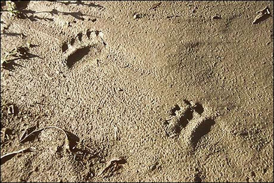 Grizzly bear tracks. Photo: Dave Shreffler, Special To The Seattle Post-Intelligencer / Special to the Seattle Post-Intelligencer