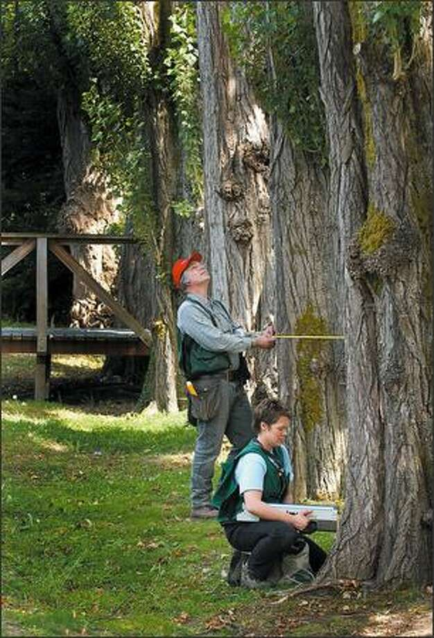 Arborist Katy Krokower and Brian Gilles examine the integrity of a poplar on Mercer Island. Photo: Steve Shelton, Special To The Seattle Post-Intelligencer / Special to the Seattle Post-Intelligencer