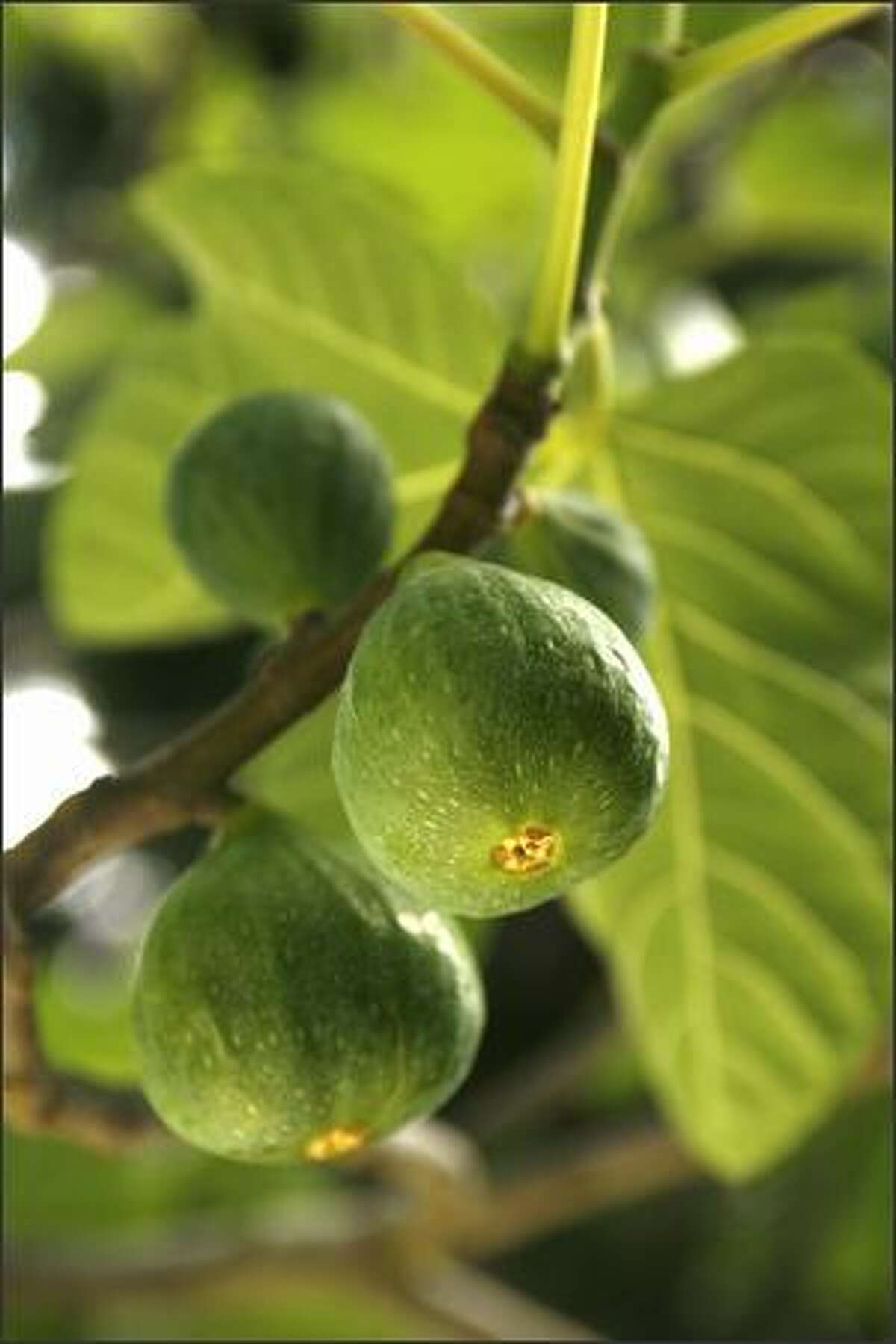 Figs have a short shelf life - about 72 hours - making them a difficult sell.