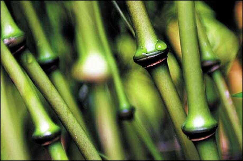 Qiongzhuea tumidissinoda is a rare bamboo with big nodes. It can grow to a height of 20 feet and often is used for screening. Photo: Dan DeLong, Seattle Post-Intelligencer / Seattle Post-Intelligencer