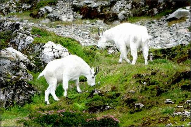 Mountain goats graze the meadows of the aptly named Goat Flat. Photo: Joshua Trujillo, Seattlepi.com / seattlepi.com
