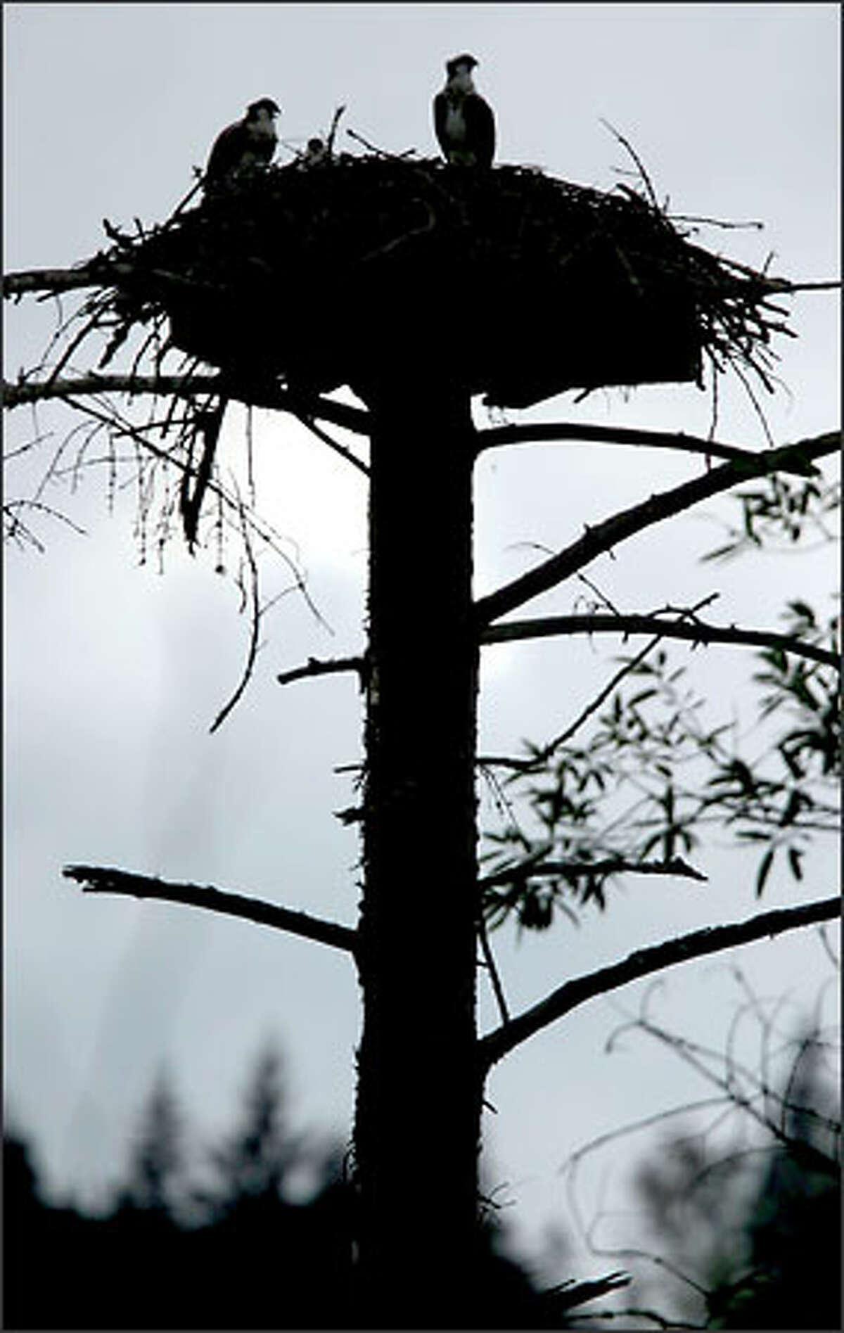 Osprey perch atop their nest at Carnation Marsh.