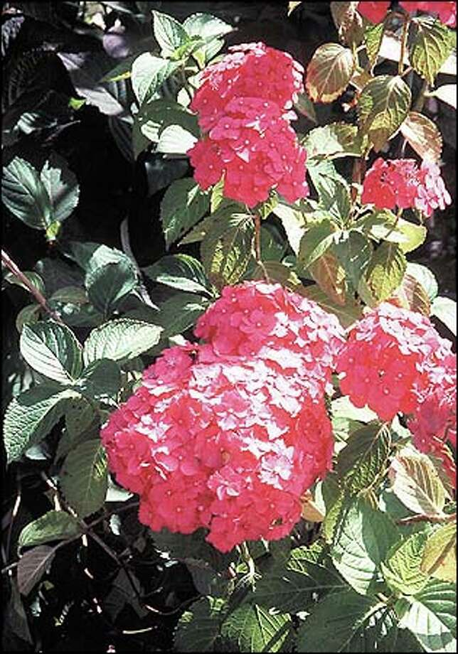 Plant a pink hydrangea in acid soil and it may fade after a few growing seasons to washed-out blue. The hydrangea are all macrophylla cultivars. 'Parsifal,' a mophead that will turn blue in acid soil. Photo: Marty Wingate, For The Seattle Post-Intelligencer / for the Seattle Post-Intelligencer